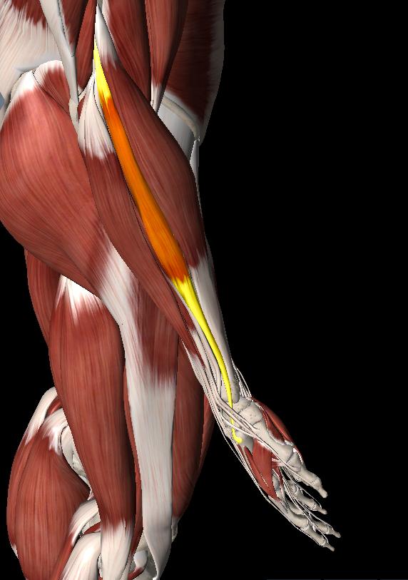 橈側手根伸筋トリガーポイント