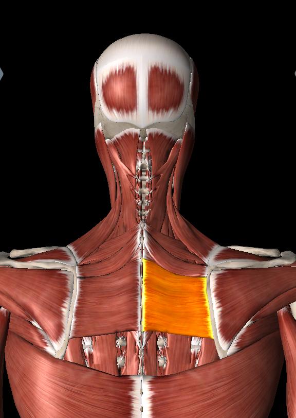肩甲骨の内側の凝りがゴリゴリで痛い