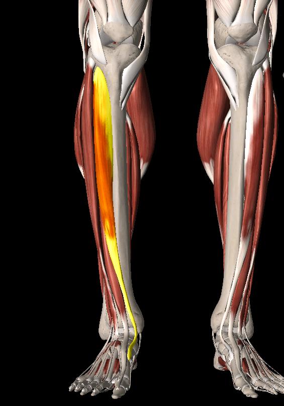 すねの筋肉は前脛骨筋