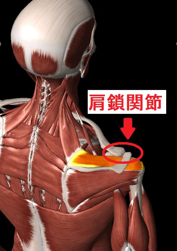 肩鎖関節の靭帯トリガーポイント