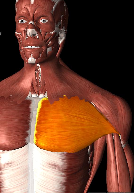 大胸筋トリガーポイント