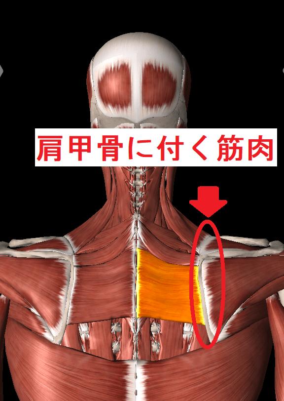 肩甲骨を動かすことを意識しよう