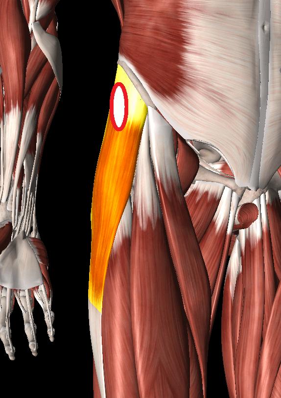 大腿筋膜張筋(腸脛靭帯)