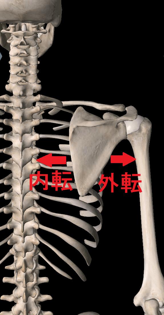 肩甲骨は自由に動かすことができる