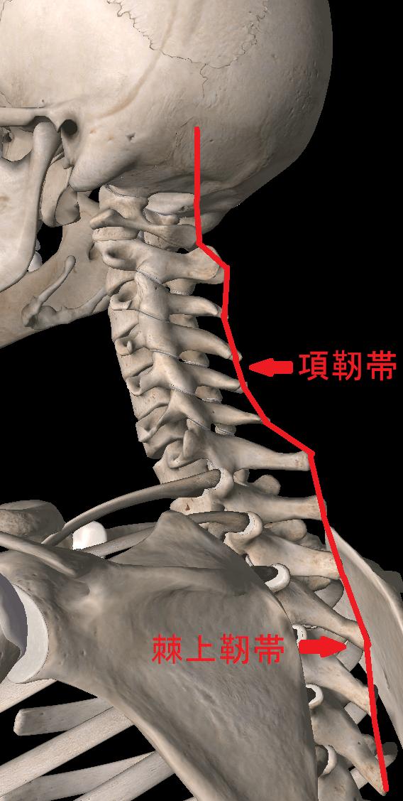 1-2.靭帯が原因となる背中の真ん中の痛み